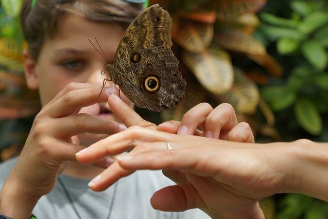 Papillon Caligo eurilochus sur main d'enfant