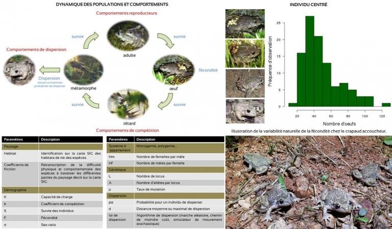 Paramètres utilisés pour reproduire la vie d'une espèce par ordinateur avec SimOïko. L'exemple est illustré avec le crapaud accoucheur mais plus d'une centaine d'espèces sont déjà disponibles dans SimOïko. SimOïko utilise des modèles de dynamiques des populations individu centrés et spatialement explicites. Individu centrés, car le cycle de vie de chacun des individus d'une population est simulé dans son intégralité, ce qui permet de prendre en compte la variabilité qu'il peut exister entre les individus. Par exemple, SimOïko intègre la variabilité naturelle qui existe dans la fécondité (données issues du programme de recherche CIRFE). Spatialement explicites, car il utilise des algorithmes qui simulent les comportements des individus, lors de leurs déplacements entre les patchs d'habitats favorables.