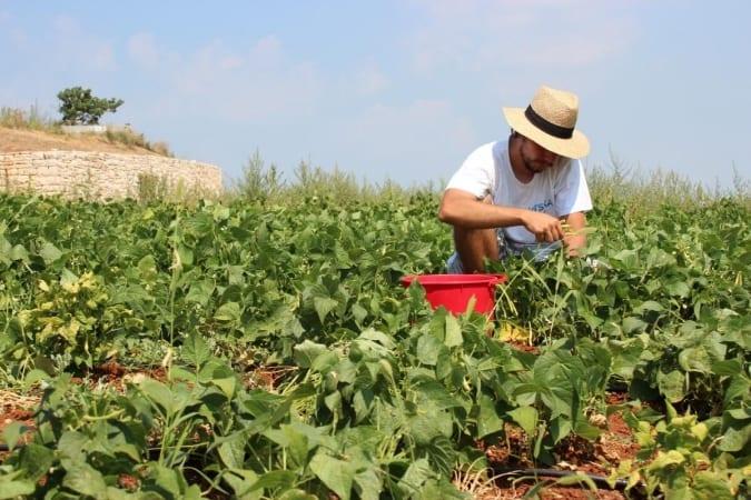 Personne récoltant ses haricots en plaine saison