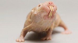 Petit Rat-taupe nu
