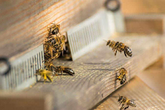 Abeilles domestiques décollant et se posant à l'entrée de la ruche