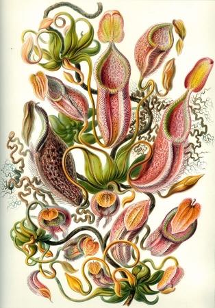 Planche de Nepenthes melamphora 1904