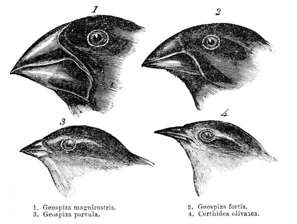 Planche de pinsons de Darwin ou pinsons des Galapagos