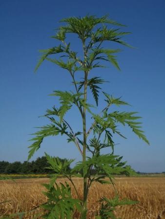 Plante entière - Ambroisie à feuilles d'armoise
