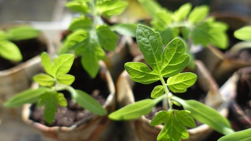 Plants de tomate en pleine croissance et bientôt prêts à être mis en terre