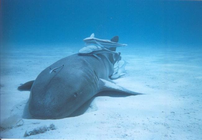 Plusieurs remoras sur un requin nourrice aux Bahamas