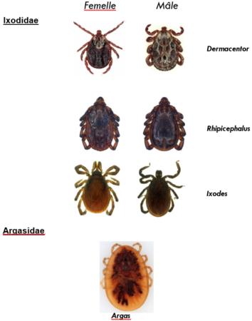 Principaux genres d'importance medicale et vétérinaire de tiques Ixodidae et Argasidae.