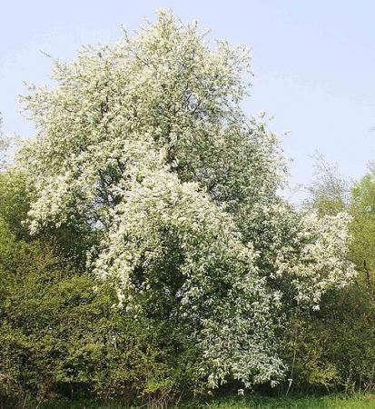 Cerisier à grappe dans une haie champêtre