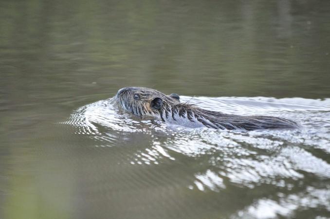 Ragondin en train de nager