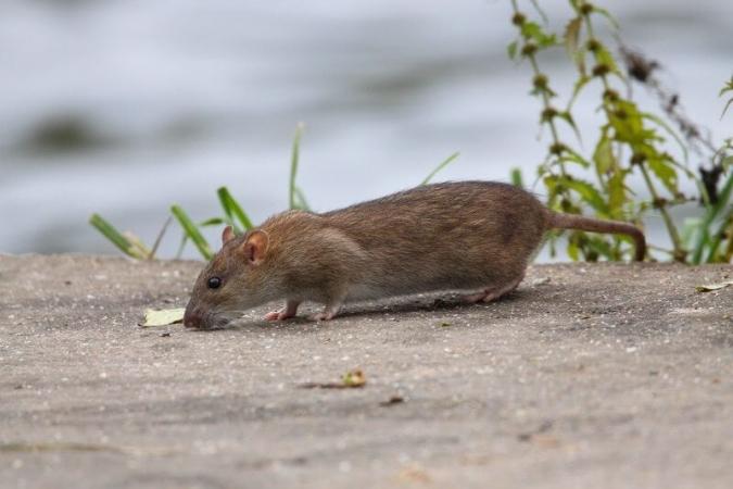 Rat brun au bord d'un ruisseau et cherchant de quoi se nourrir