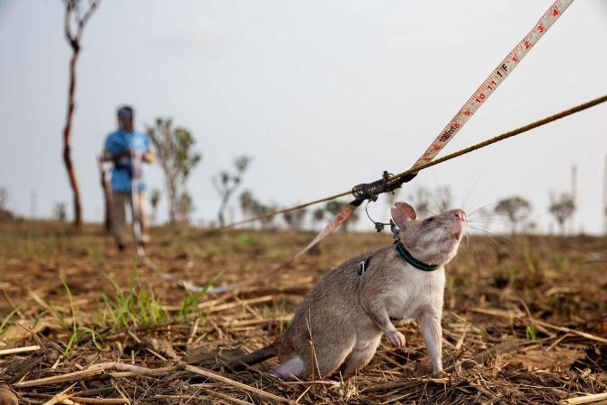 Rat de Gambie élevé pour détecter les mines terrestres