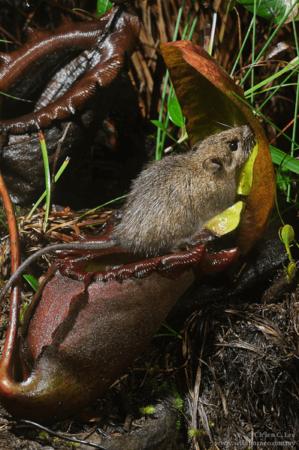 Rattus baluensis en trian de visiter Nepenthes rajah