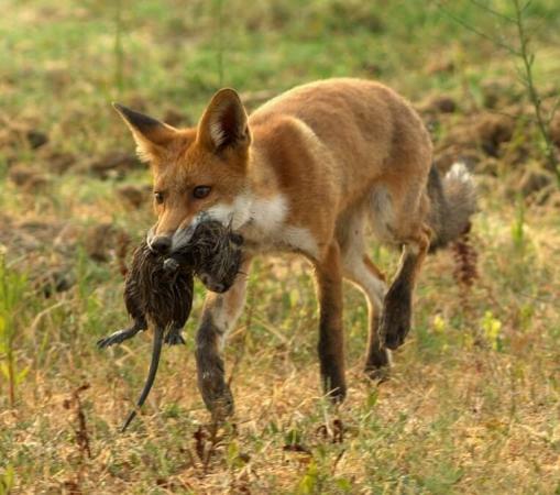 Renard roux après la chasse