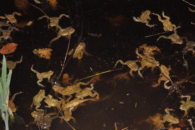 Reproduction chez les crapauds communs (Bufo bufo)