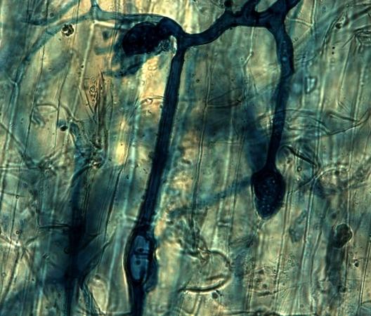 Réseau de mycorhize à l'intérieur d'une racine