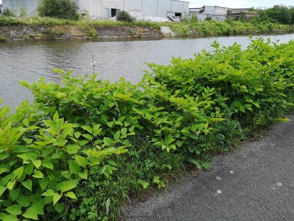 Reynoutria japonica invahissant un talus en bord de rivière