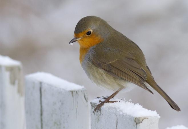 Rouge gorge en quête de nourriture en plein hiver