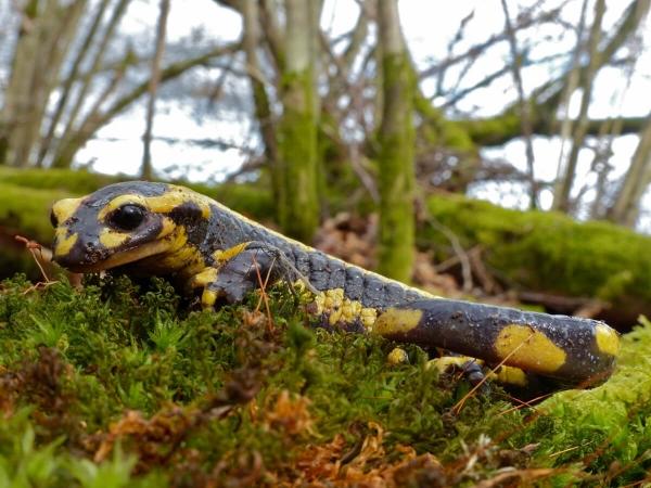 Salamandra salamandra vue de profil