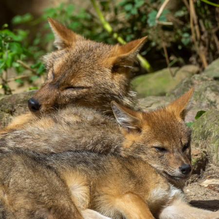 Scène de famille chez le chacal doré