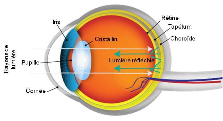 Schéma coupe lattérale d'un œil