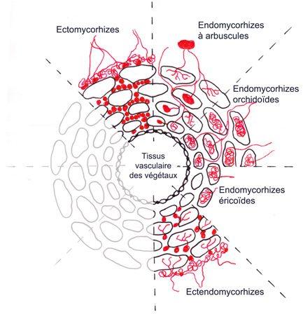Schéma de coupe— Schéma de mycorhizes