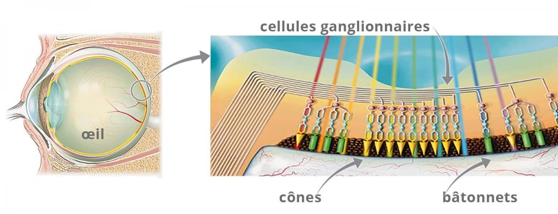 Schéma simplifié des cellules de la rétine et de leurs connexions au cerveau. Panneau du haut : la rétine humaine (comme chez toutes les espèces) est très stratifiée, comprenant les photorécepteurs classiques de type cône (rose ou vert) et bâtonnet (bleu pâle), ainsi que les cellules ganglionnaires qui intègrent toutes les informations visuelles pour les acheminer vers le cerveau.