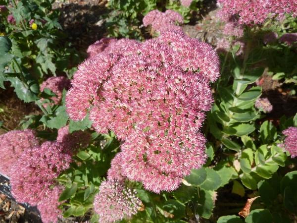 Sedum Herbstfreude (Sedum telephium)