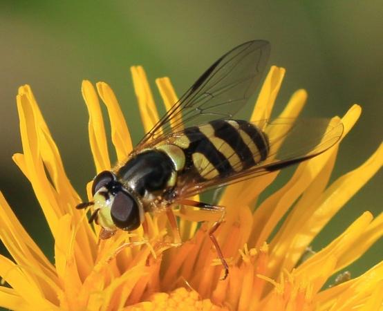 Syrphinae adulte - Imago de syrphe se nourrissant de pollen.
