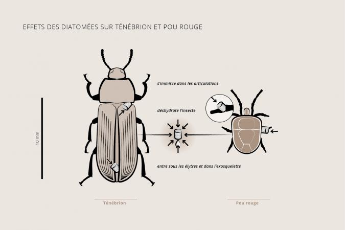 Schéma explicatif de l'utilisation de la terre de diatomée en aviculture