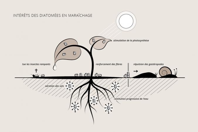 Schéma explicatif de l'utilisation de la terre de diatomée en maraîchage