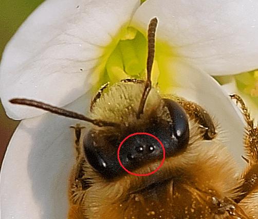 Tête d'abeille montrant les trois ocelles positionnées en triangle entre les yeux composés