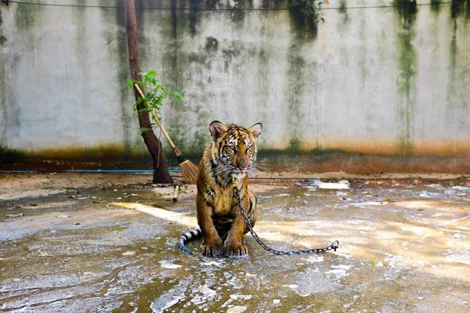 Tigre enchaîné, difficile à accepté, non ?