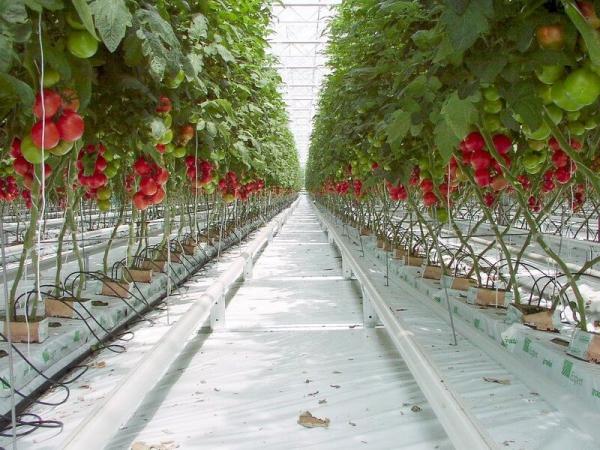Tomates en hydroponie