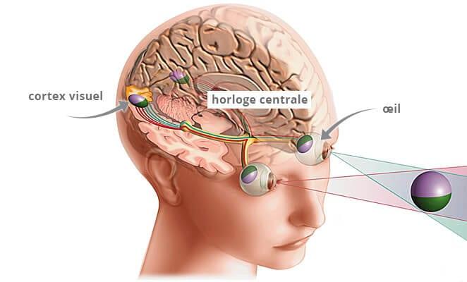 Le trajet principal suivi par le nerf optique en bleu culmine dans le cortex visuel pour générer la sensation de la vue. Par contre un petit nombre des cellules ganglionnaires (en rouge dans les deux panneaux) projet vers l'horloge circadienne centrale. Ce sont donc ces cellules intrinsèquement photosensibles qui coordonnent l'horloge du cerveau avec le cycle jour-nuit.