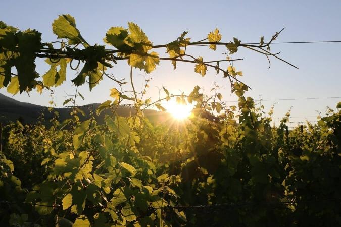 Tressage de vigne