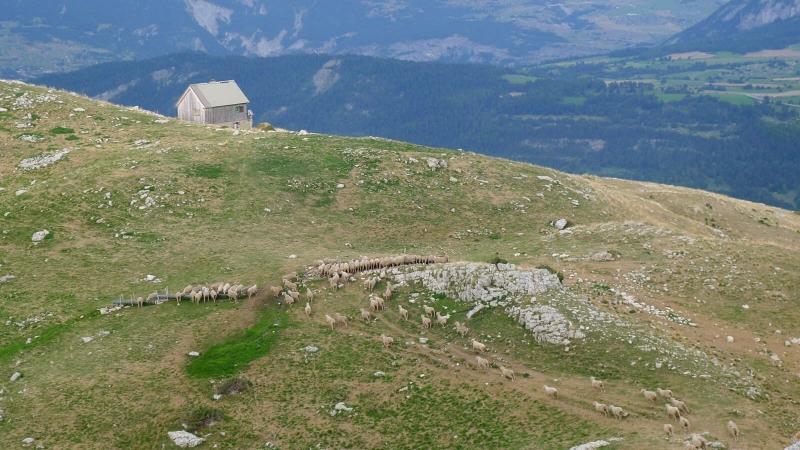 Troupeau de mouton sur le Devoluy