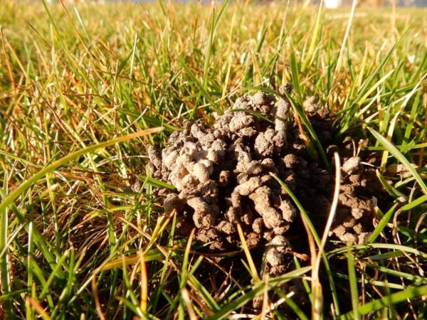 Turricules de vers de terre