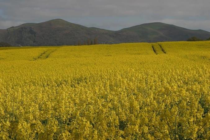 Un champ de Colza à perte de vue pour produire du biocarburant