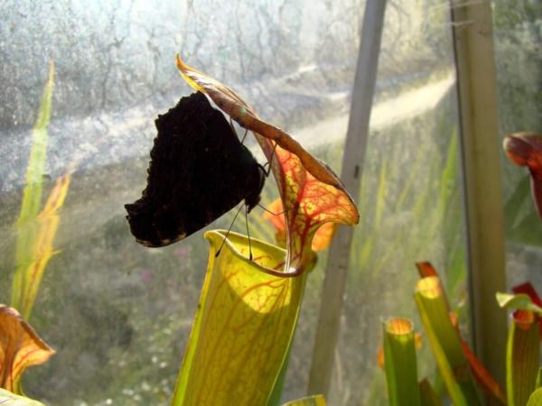 Un papillon se délecte du nectar de Sarracenia flava