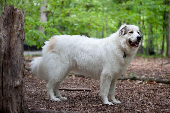 Un patou, chien de montagne