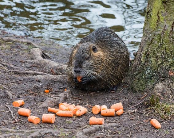 Un ragondin se régale avec des carottes