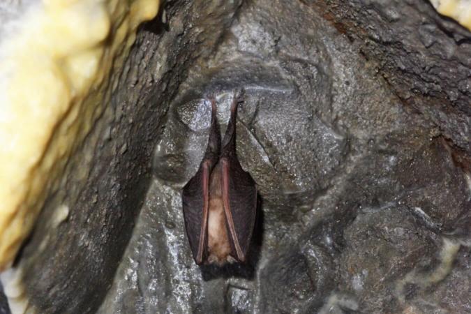 Un Rhinolophe (Rhinolophus sp.) en pleine hibernation dans une grotte