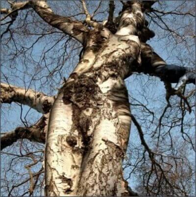 Une personne pratiquant la dendrophilie est sexuellement excitée par les arbres