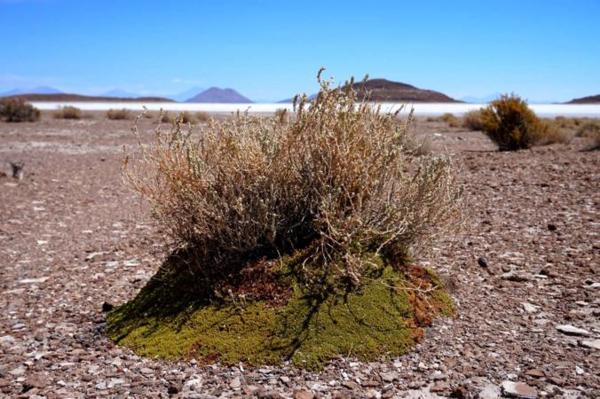 Une plante en coussin (Frankenia triandra), facilite l'implantation d'un jeune arbuste près du Salar de Uyuni, en Bolivie