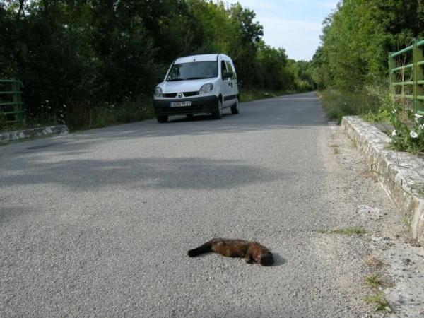 Vison d'Europe victime de collision routière