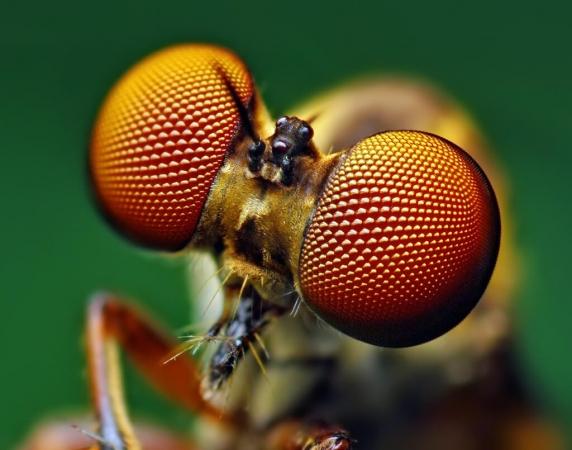 Yeux de mouche Holcocephala fusca