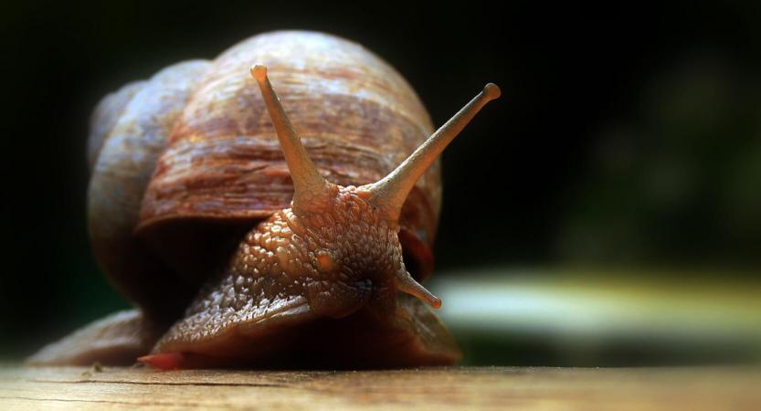 Les yeux de l'escargot terrestre sont localisés au bout des tentacules, et assurent une vision capable de détecter le contraste entre nuit et jour et des mouvements