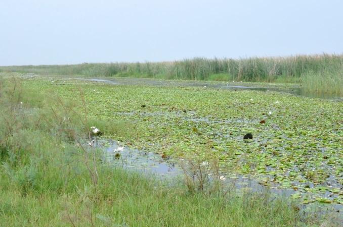 Zone à nénuphars blanc des étangs